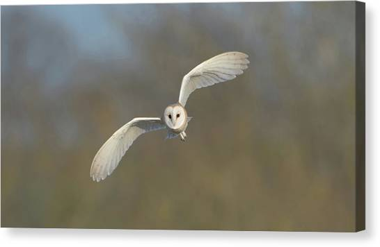 Barn Owl Hunting In Worcestershire Canvas Print