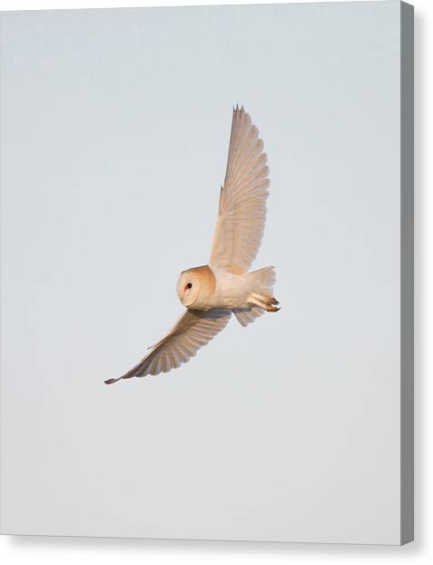 Barn Owl Hunting Canvas Print