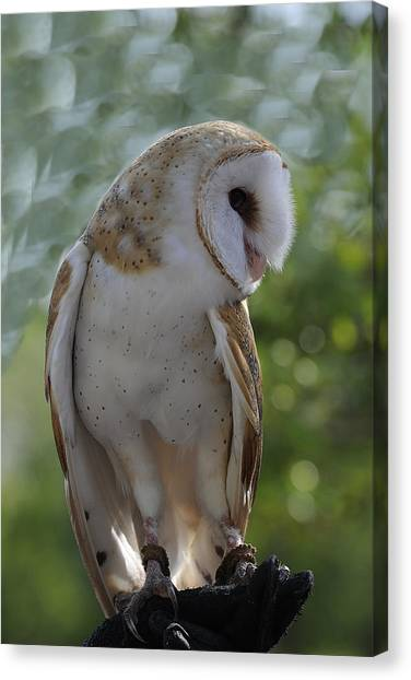 Barn Owl Canvas Print by Keith Lovejoy