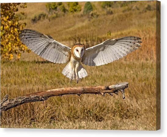 Barn Owl Landing Canvas Print