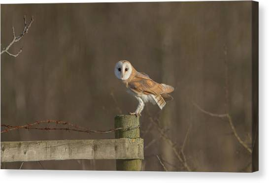 Barn Owl On Fence Canvas Print