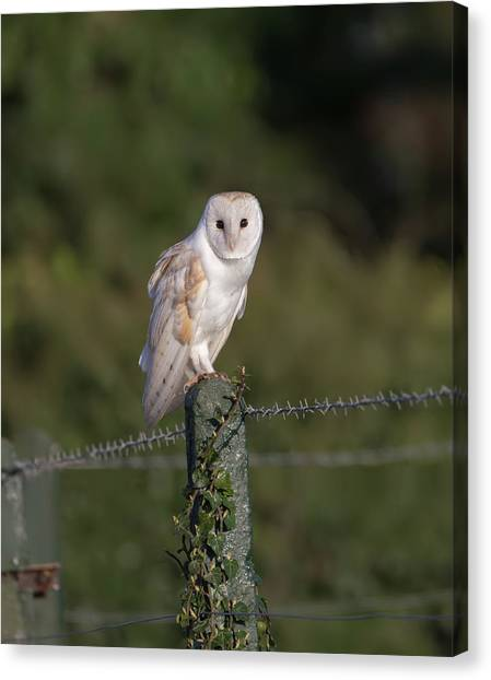 Barn Owl On Ivy Post Canvas Print