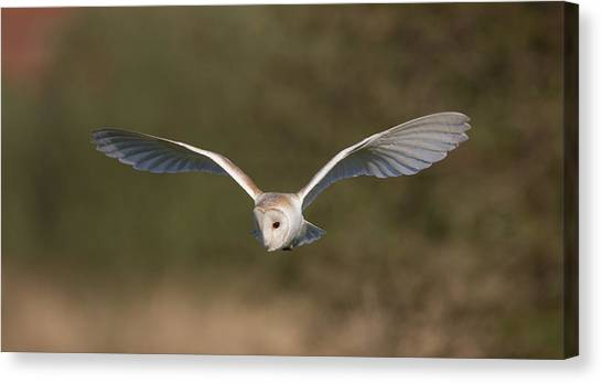 Barn Owl Quartering Canvas Print