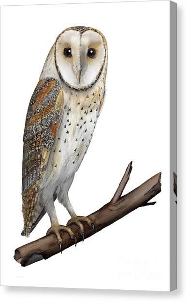Barn Owl Screech Owl Tyto Alba - Effraie Des Clochers- Lechuza Comun- Tornuggla - Nationalpark Eifel Canvas Print