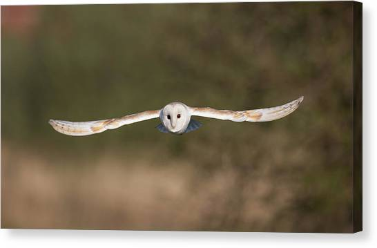 Barn Owl Wingspan Canvas Print
