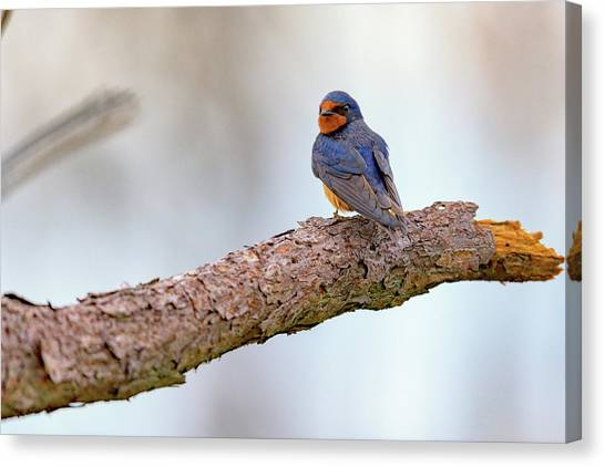 Swallow Canvas Print - Barn Swallow On Assateague Island by Rick Berk