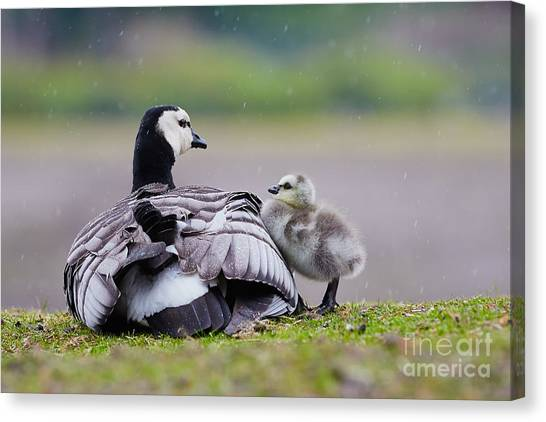 Barnacle Goose With Chick In The Rain Canvas Print