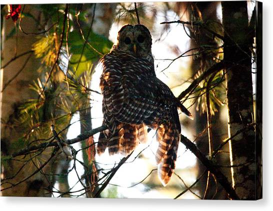 Barred Owl At Sunrise Canvas Print
