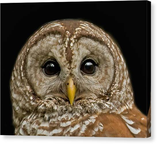 Barred Owl Fledgling Canvas Print