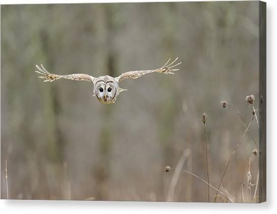 Barred Owl In Flight II Canvas Print by Scott  Linstead