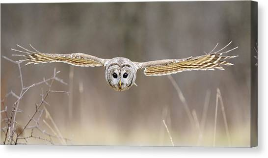Owls Canvas Print - Barred Owl In Flight by Scott  Linstead