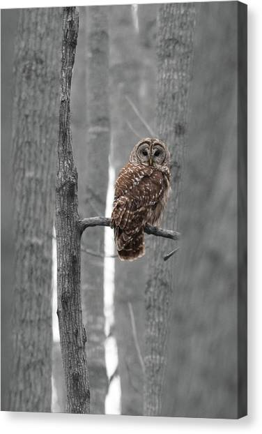 Barred Owl In Winter Woods #1 Canvas Print