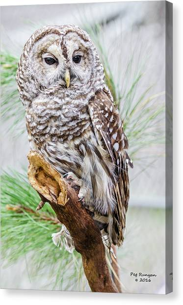 Canvas Print - Barred Owl On A Branch by Peg Runyan