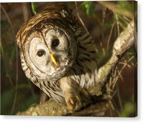 Barred Owl Peering Canvas Print