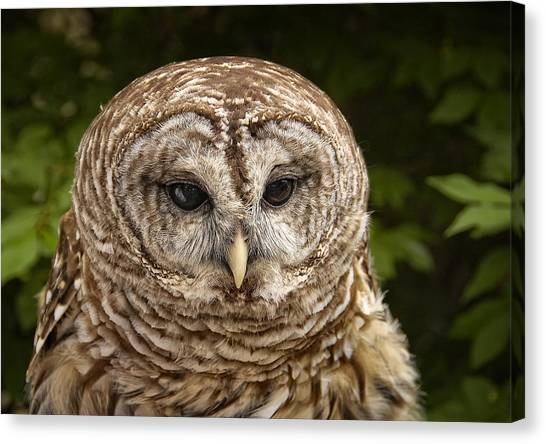 Canvas Print - Barred Owl by Peg Runyan