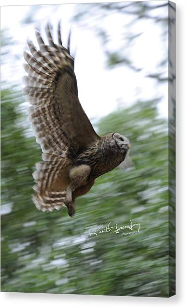 Barred Owl Taking Flight Canvas Print