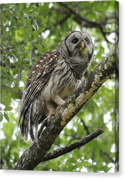 Barred Owl With A Snack Canvas Print by Keith Lovejoy