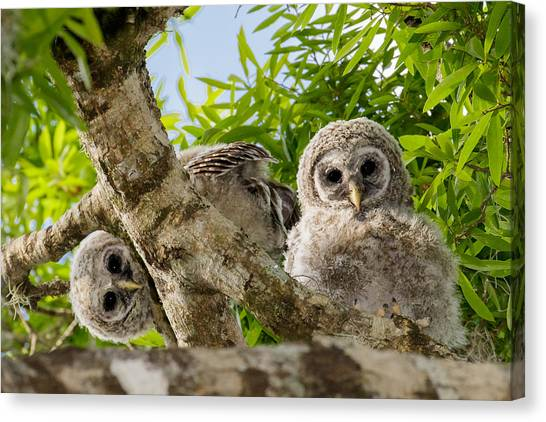 Barred Owlet Twins Canvas Print