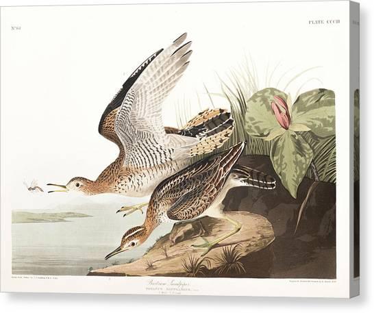 Sandpipers Canvas Print - Bartram Sandpiper by John James Audubon