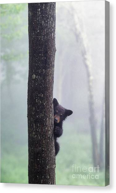 Black Bears Canvas Print - Bashful Bear Cub - Fs000230 by Daniel Dempster