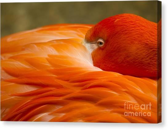 Bashful Flamingo Canvas Print