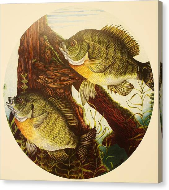 Prisma Colored Pencil Canvas Print - Basking Bluegills by Bruce Bley