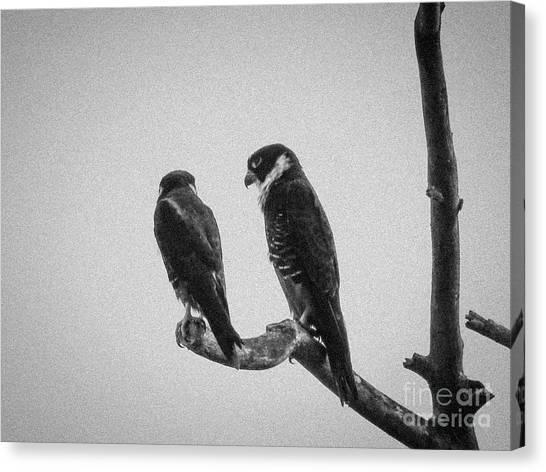 Bat Falcon In Black And White Canvas Print