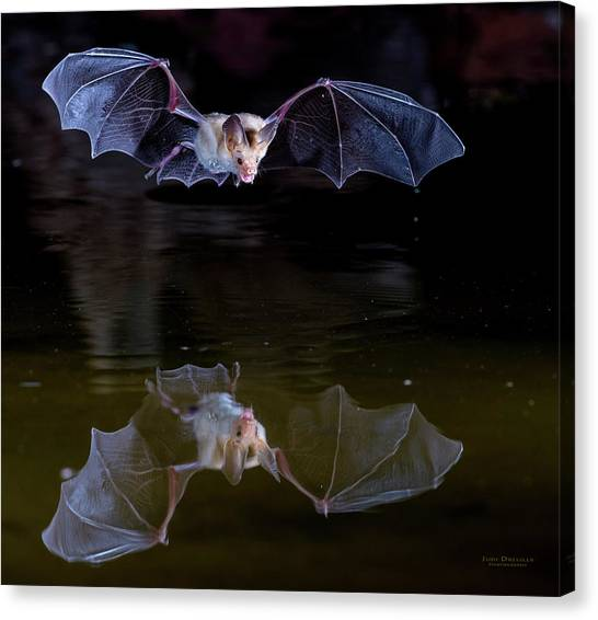 Bat Flying Over Pond Canvas Print