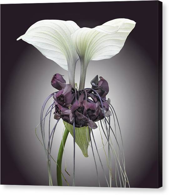 Canvas Print featuring the photograph Bat Plant by Denise Bird