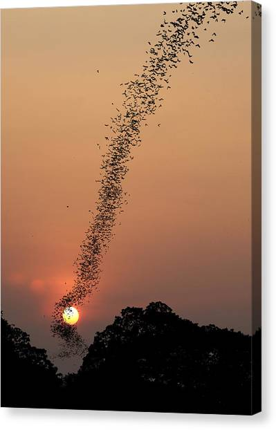 Bat Canvas Print - Bat Swarm At Sunset by Jean De Spiegeleer