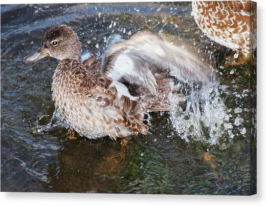 Bathing Duck Canvas Print