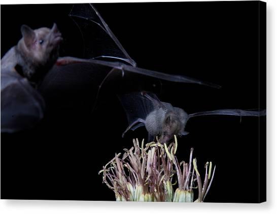 Bats At Work Canvas Print by E Mac MacKay
