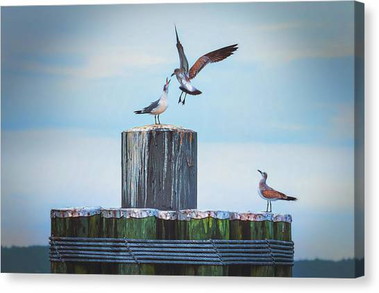 Battle Of The Gulls Canvas Print