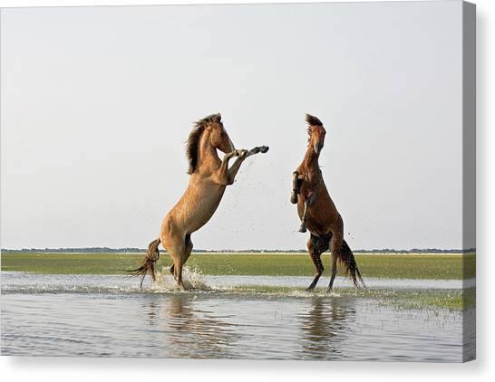 Battling Mustangs Canvas Print