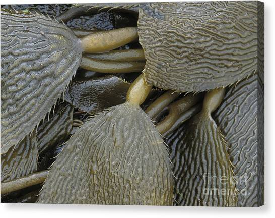 Beached Kelp Canvas Print by Tim Grams