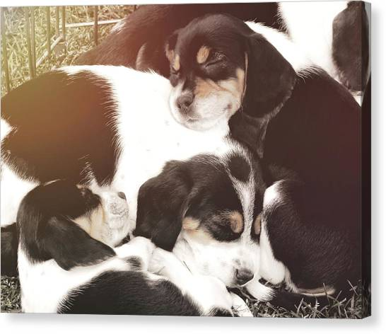 Beagle Pile Canvas Print by JAMART Photography