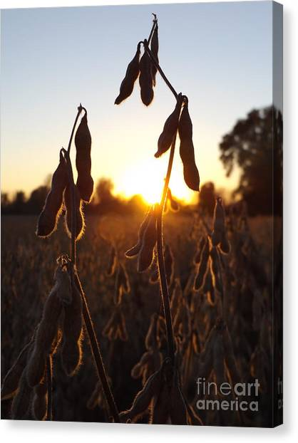 Beans At Sunset Canvas Print