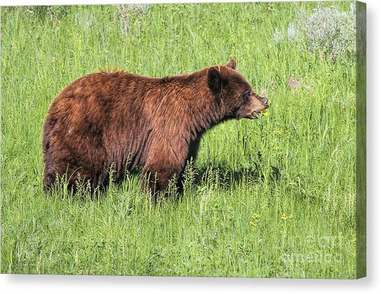 Bear Eating Daisies Canvas Print