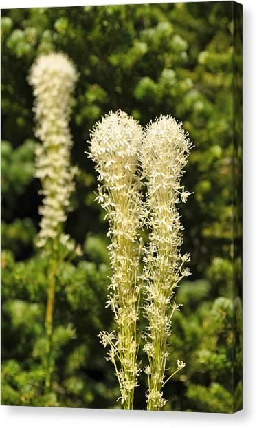 Bear Grass Canvas Print