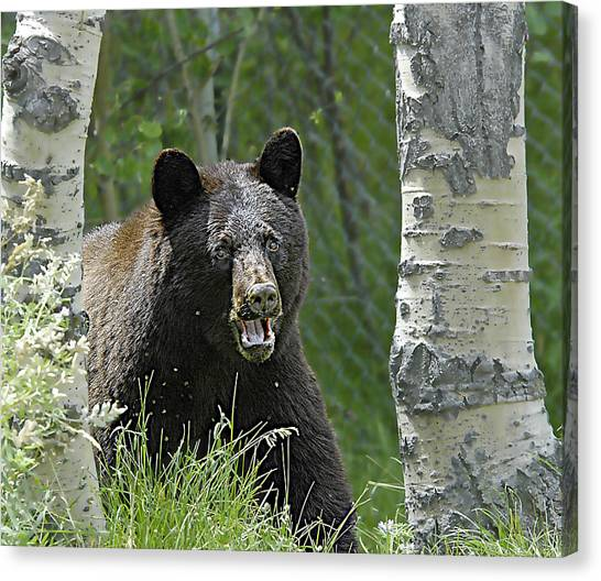 Bear In Yard Canvas Print