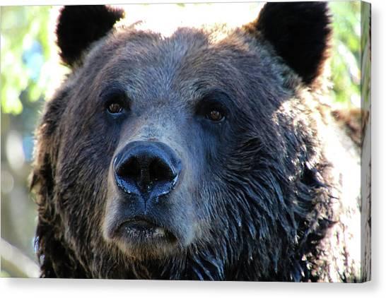 Bear On Grouse Canvas Print