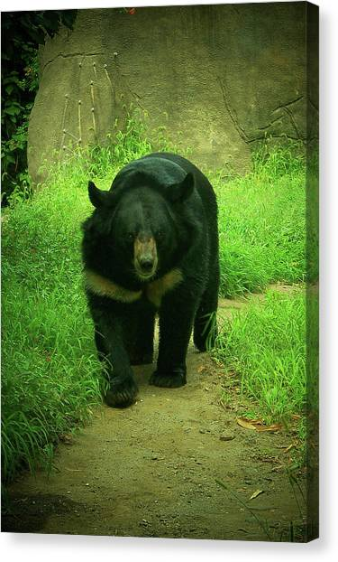 Bear On The Prowl Canvas Print