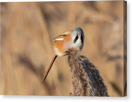 Bearded Reedling Canvas Print