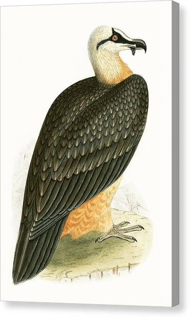 Vultures Canvas Print - Bearded Vulture by English School
