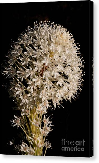 Beargrass Torch Canvas Print