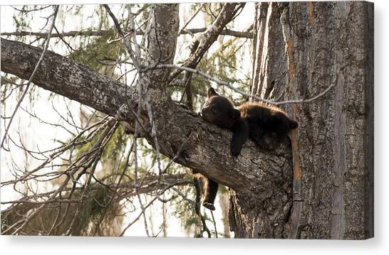 Bearly Hanging In There Canvas Print