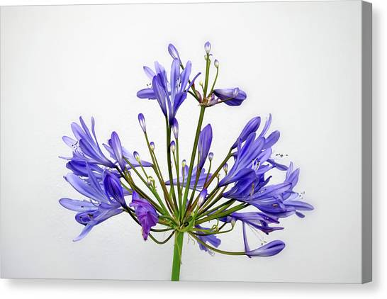 Beautiful Agapanthus Flower - The Blue Trumpets Are Perfectly Lit By Natural Daylight Canvas Print