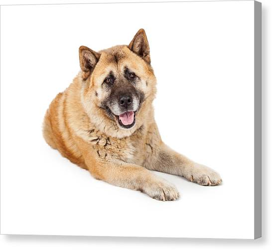 Large Mammals Canvas Print - Beautiful Akita Dog Laying by Susan Schmitz