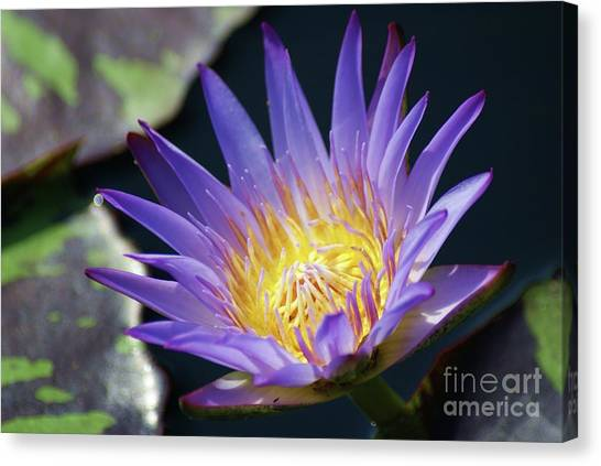 Blue Camo Canvas Print - Beautiful Blue Water Lily...   # by Rob Luzier