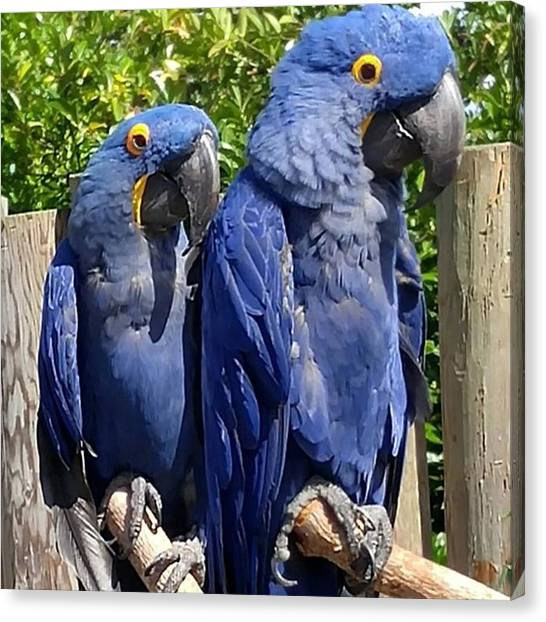 Parrots Canvas Print - Beautiful #bluemccaw Duo by Christian Richards